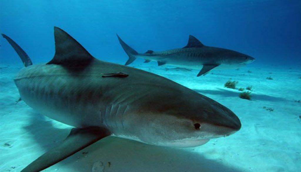 バハマのタイガーシャークは危険?人食い鮫?その生態を徹底解析!